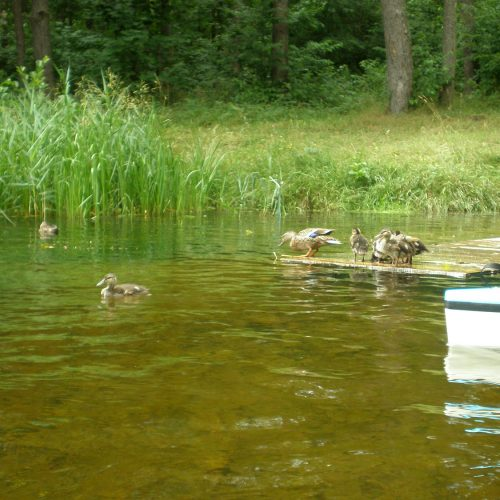 river in podlasie poland - young ducks