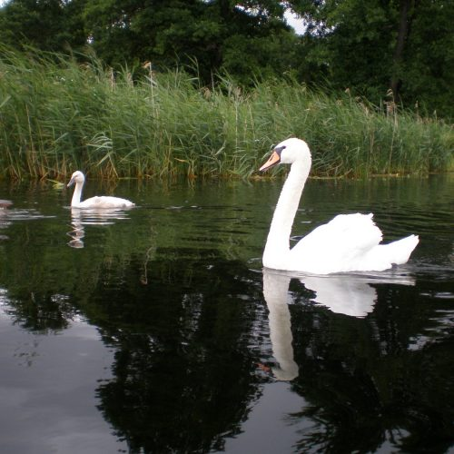 river in podlasie poland - swans