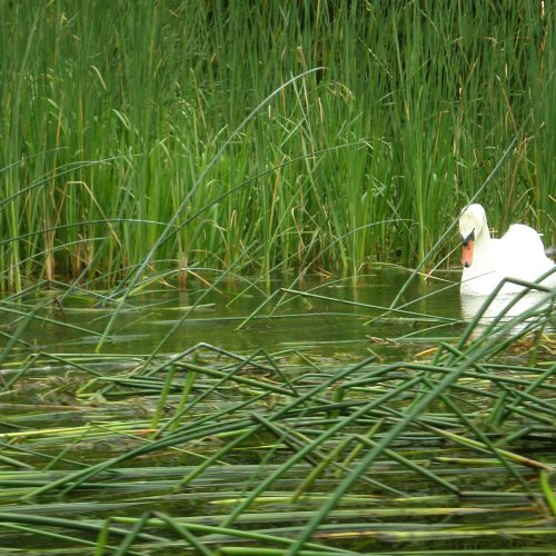 river in podlasie poland - swan