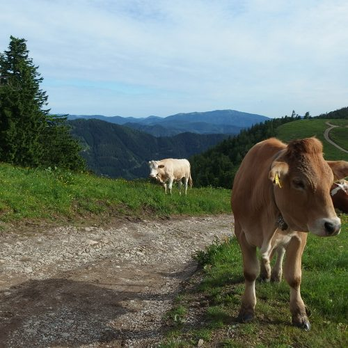 schneeberg in lower alps in austria - cows