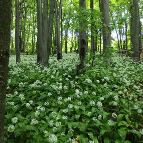 bieszczady mountains national park in poland - flowers in forest
