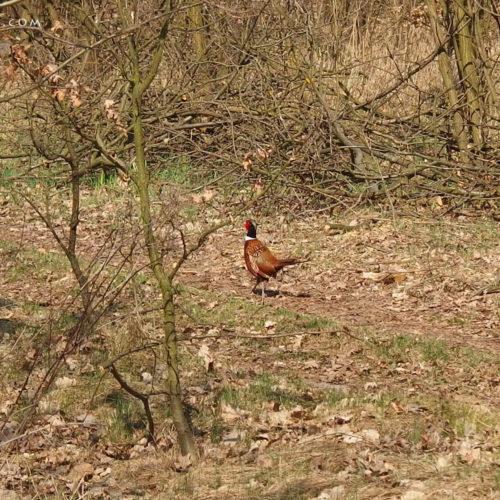 mazovia (mazowsze) in poland - pheasant