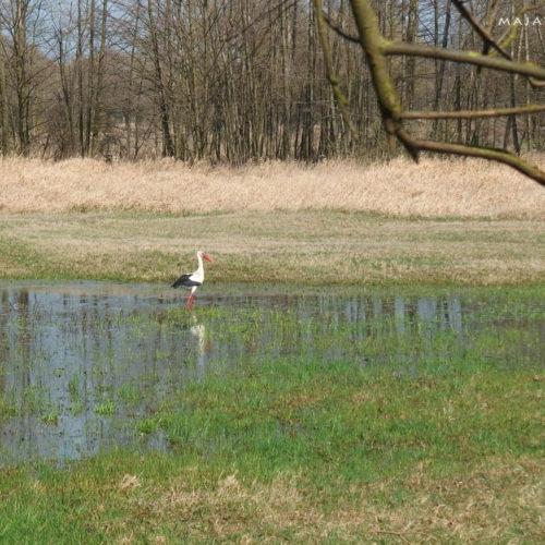 mazovia (mazowsze) in poland - white stork