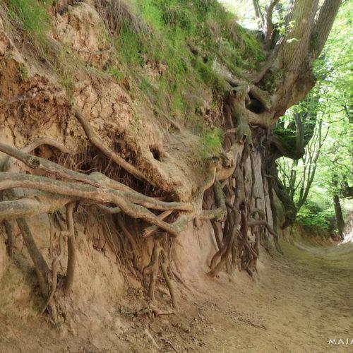kazimierz dolny, loess gully root