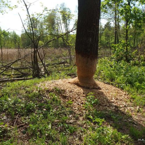 nature reserve piskory beaver traces
