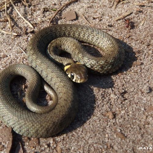 lublin voivodeship grass snake ant