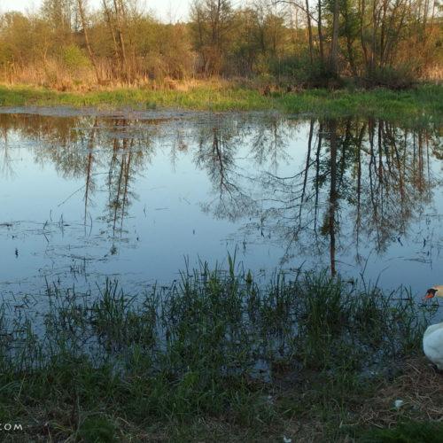 lublin voivodeship swan