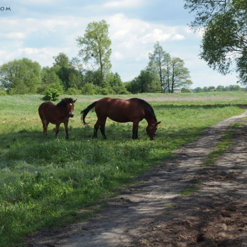 grodziska nad chodelką horses