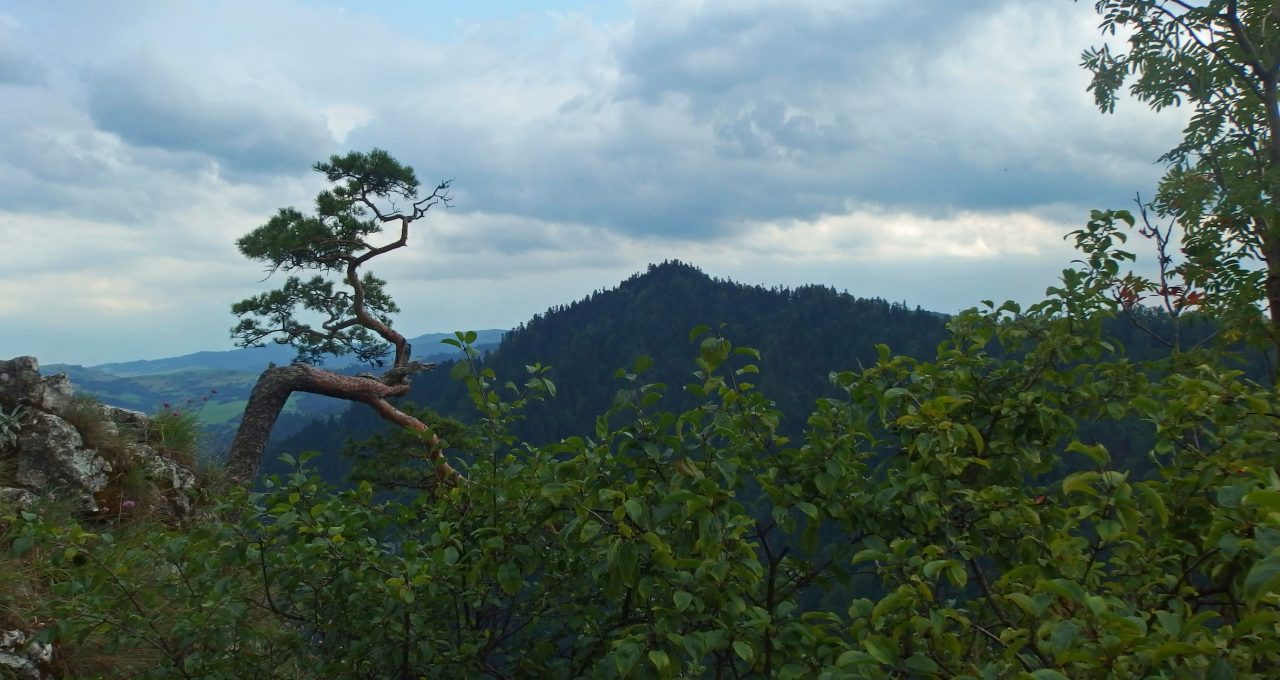 sokolica tree in pieniny