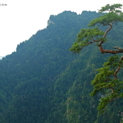 Pine tree on Sokolica peak, Pieniny