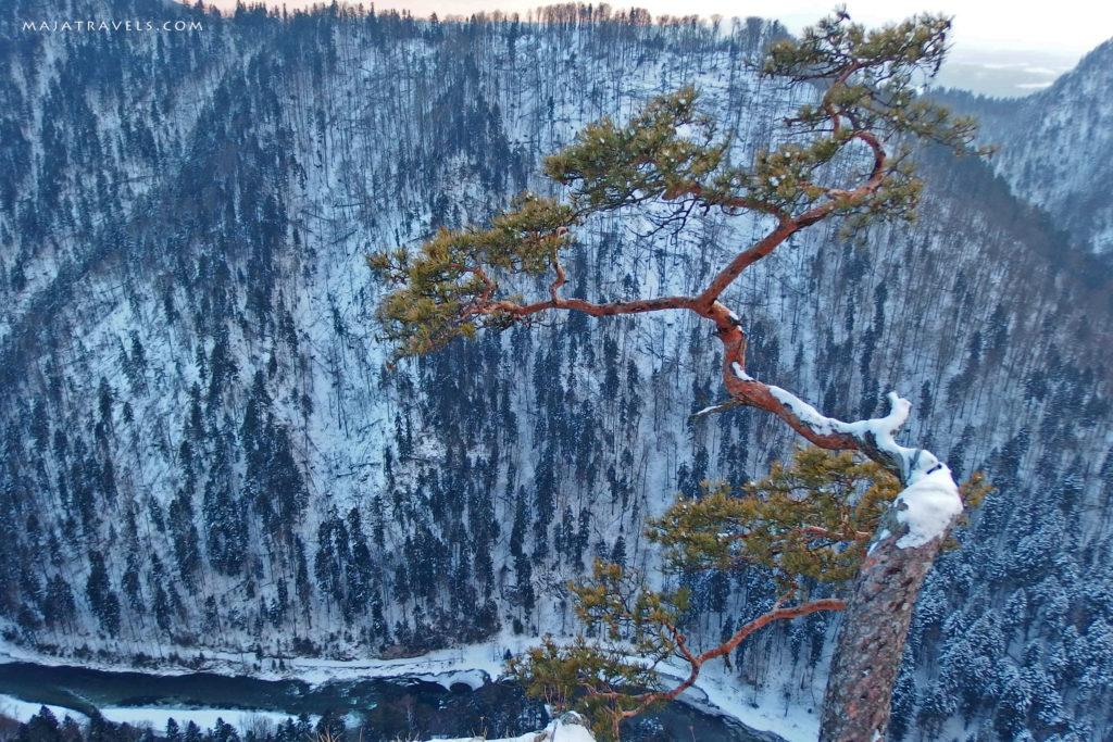 sokolica tree, pieniny mountains
