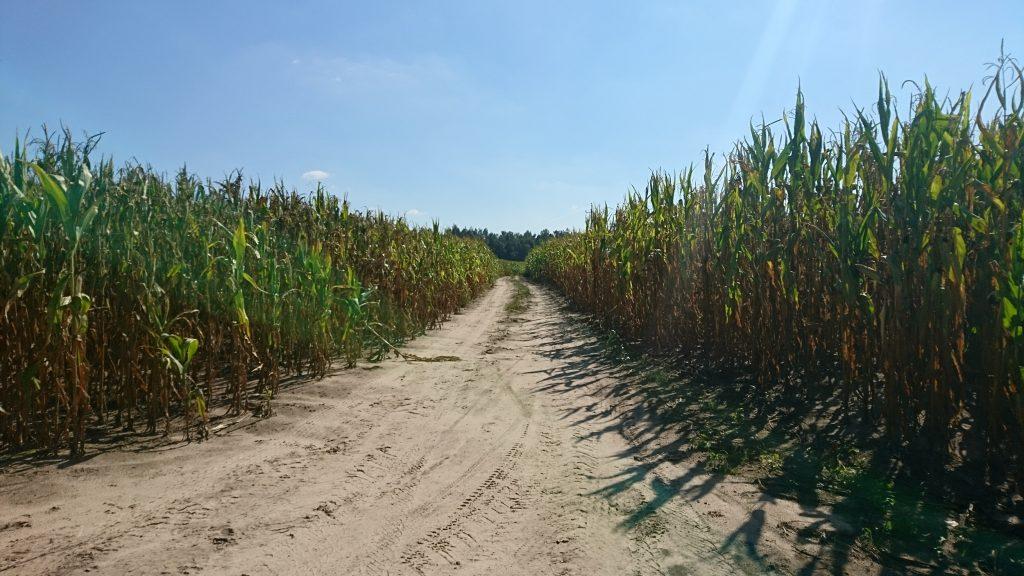 nadbużański szlak rowerowy, droga polna, kukurydza